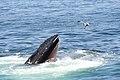 Humpback whale off the coast of Cape Cod.jpg