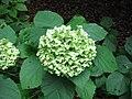 Hydrangea arborescens 'Annabelle'.jpg