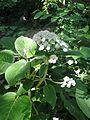 Hydrangea aspera villosa (9389391277).jpg
