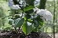 Hydrangea macrophylla (Hortensia) 49.jpg