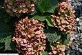 Hydrangea macrophylla Hamburg 2zz.jpg