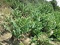 Hyoscyamus niger sl35.jpg