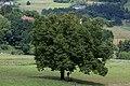 ID 1384 Linde Münzgraben.jpg