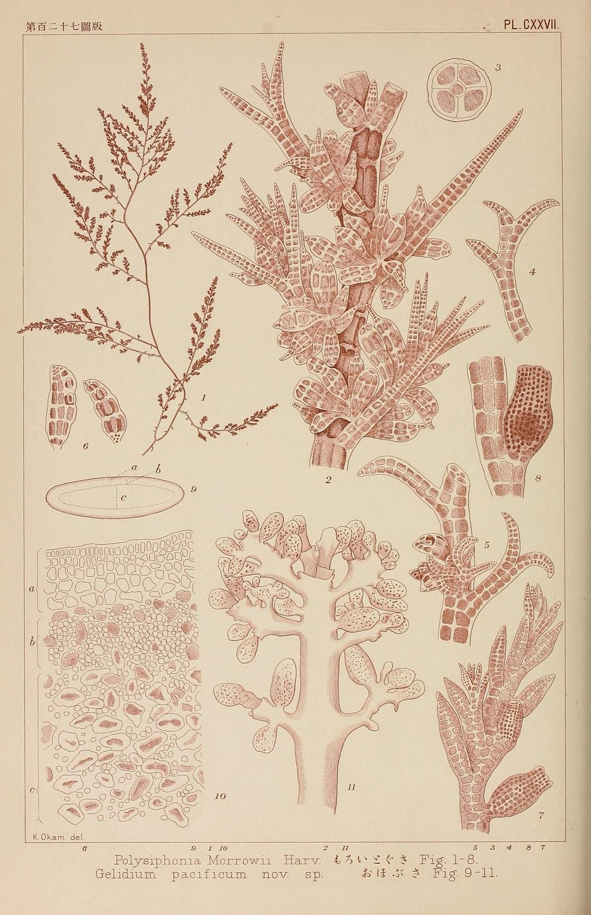 Polysiphonia
