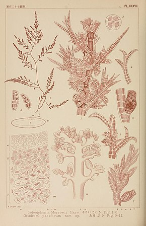 Icones of Japanese algae (Pl. CXXVII) (8006310599).jpg