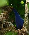 Iguacu Porphyrio martinica.jpg