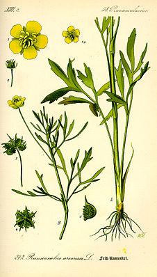 Acker-Hahnenfuß (Ranunculus arvensis), Illustration
