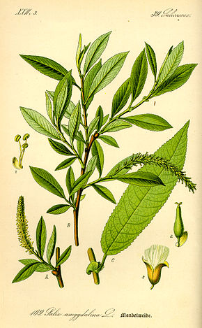 Description de l'image Illustration Salix triandra0.jpg.