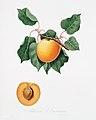 Illustration from Pomona Italiana Giorgio Gallesio by rawpixel00010.jpg
