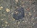 Impact breccia (Sandcherry Member, Onaping Formation, Paleoproterozoic, 1.85 Ga; High Falls roadcut, Sudbury Impact Structure, Ontario, Canada) 12 (47759327791).jpg