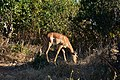 Impala, Ruaha National Park (10) (28127810033).jpg