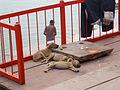 India - Varanasi - 023 -street puppies (2147071828).jpg