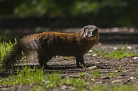 Indian Brown Mongoose.jpg