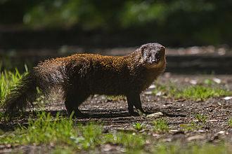 Indian brown mongoose - Image: Indian Brown Mongoose