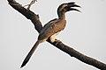 Indian Grey Hornbill Ocyceros birostris male by Dr. Raju Kasambe DSCN4231 (6).jpg