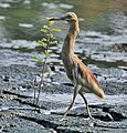 Indian Pond Heron (Ardeola grayii) in Breeding plumage walking cautiously in Kolkata I IMG 7936.jpg