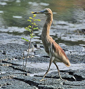 Indian pond heron - Usually hunched, they appear short necked