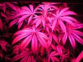 Indoor hybrid medical cannabis Gro5.jpg