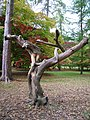 Interesting intertwined tree trunk in the acer glade - geograph.org.uk - 1769967.jpg