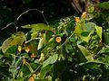 Ipomoea hederifolia (2981250367).jpg