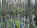 Irdyn swampland forest, 2006.5.JPG