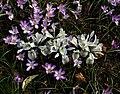 Iris Katherine Hodgkin type A - Flickr - peganum (1).jpg