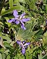 Iris milesii - Fleurs.jpg
