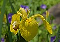 Iris pseudacorus (UN-0056-C) Flower.JPG