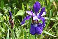 Iris versicolor SCA-0769.jpg