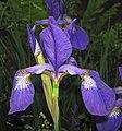 Iris virginica (Virginia iris) (Newark, Ohio, USA) 10 (27707008962).jpg