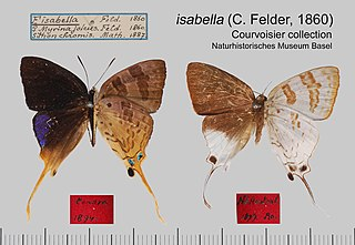 <i>Bindahara phocides</i> species of insect