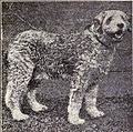 Italian Sheepdog from 1915.JPG