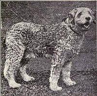 Italian Sheep Dog Puppy