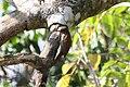 Ivory-billed Woodcreeper (Xiphorhynchus flavigaster) (2395568819).jpg