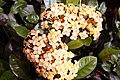 Ixora coccinea Dwarf Yellow 3zz.jpg