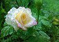 JNU White Rose.jpg