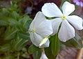 JNU White Vinca Flowers.jpg