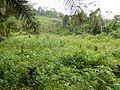 Jachère de manioc (Cameroun).jpg