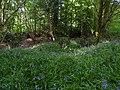 Jacinthe des bois - Forêt de Mervent-Vouvant.jpg