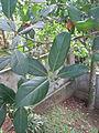 Jackfruit leaves.jpg
