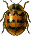 Jacobson coccinella fasciatopunctata.png