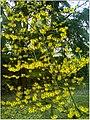 January Frost Botanic Garden Freiburg blühnede China Zaubernuß - Master Botany Photography 2014 - panoramio.jpg