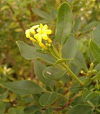 Jasminum odoratissimum BotGardBln1105a