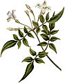 Jasminum officinale 1787.jpg
