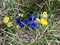 Jenner Alpenblumen 13.jpg