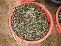 Jf252Mussels Perna viridis Obandofvf.JPG