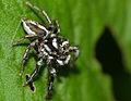 Jumping Spider (Hyllus argyrotoxus) male (12089008025).jpg