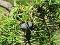 Juniperus communis, Spomenik prirode Slapovi Sopotnice, Srbija (50).jpg
