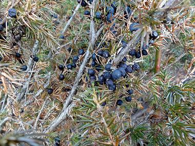 Juniperus communis var depressa SCA-02668.jpg