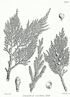 <i>Juniperus excelsa</i> species of plant